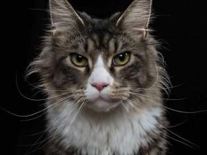 Ponga un gato en su vida… o varios